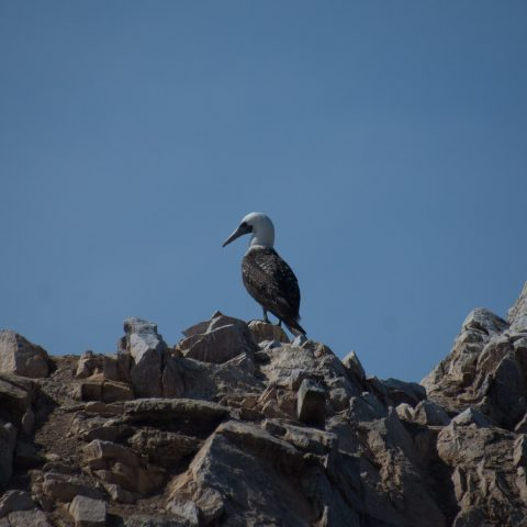 Oiseau, Sula, variegata-24