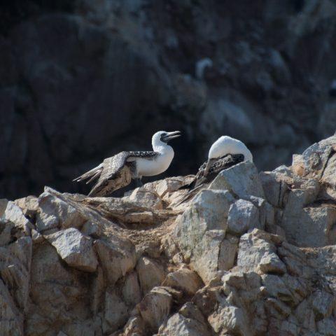 Oiseau, Sula, variegata-25