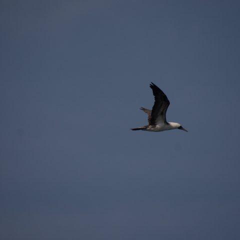 Oiseau, Sula, variegata-3
