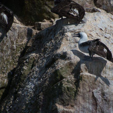 Oiseau, Sula, variegata-31