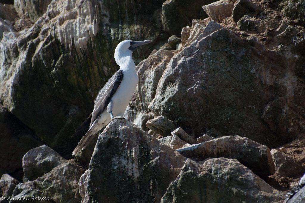 Oiseau, Sula, variegata-32