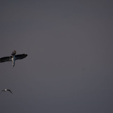 Oiseau, Sula, variegata-6