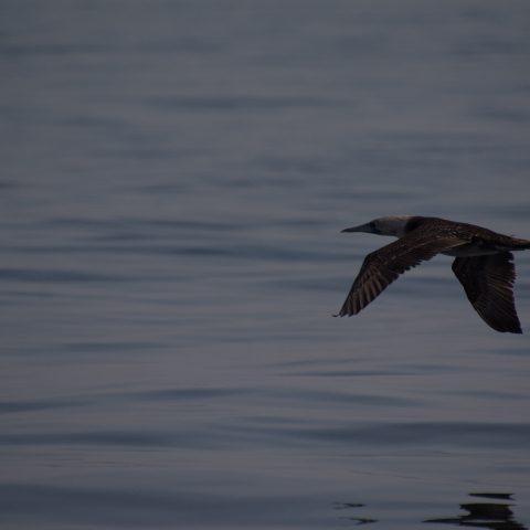 Oiseau, Sula, variegata-8