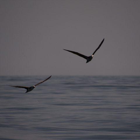 Oiseau, Sula, variegata-9