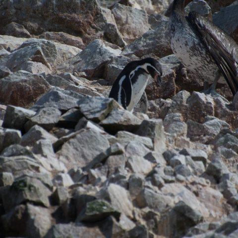 humboldti, Oiseau, Spheniscus-2