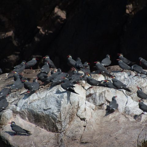 inca, Larosterna, Oiseau-12