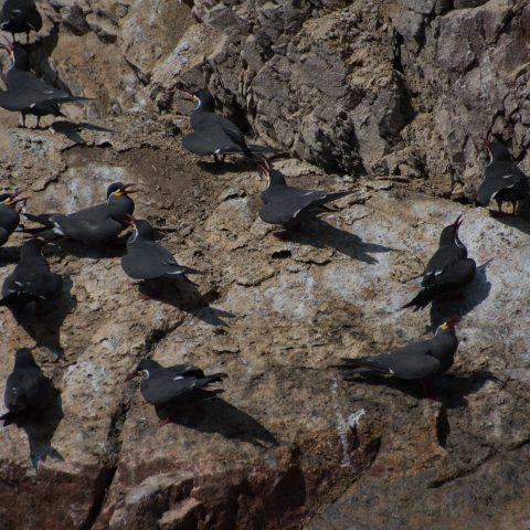 inca, Larosterna, Oiseau-15