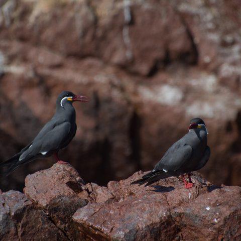 inca, Larosterna, Oiseau-18