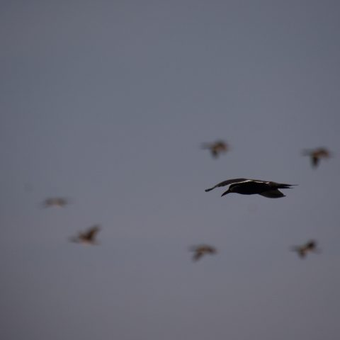 inca, Larosterna, Oiseau-2