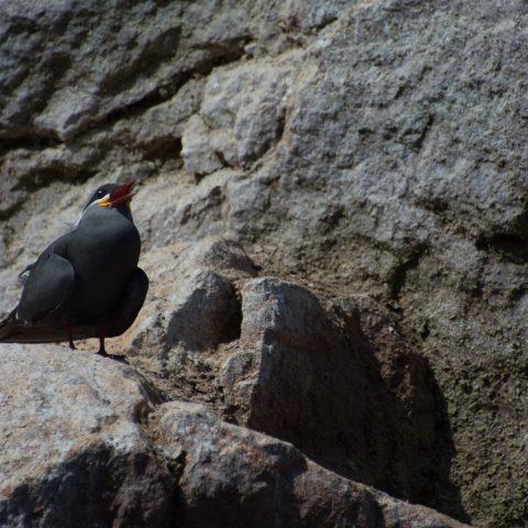 inca, Larosterna, Oiseau-22