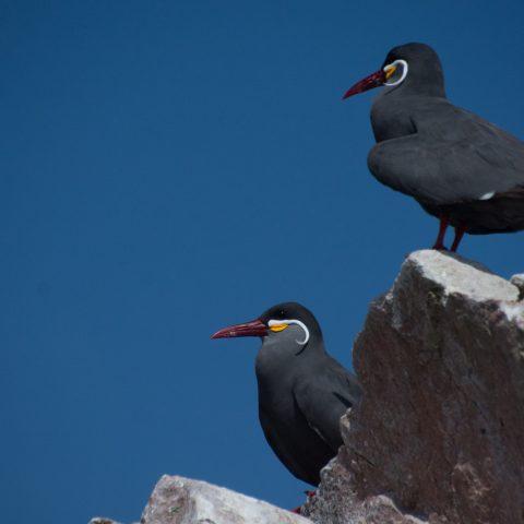 inca, Larosterna, Oiseau-24