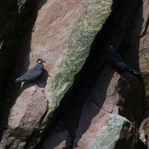 inca, Larosterna, Oiseau-4