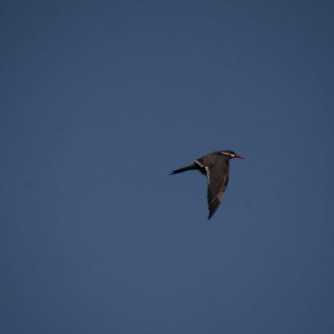 inca, Larosterna, Oiseau