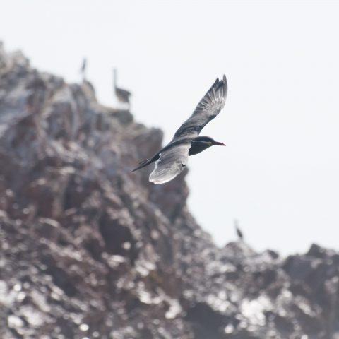 inca, Larosterna, Oiseau-7
