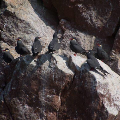 inca, Larosterna, Oiseau-9