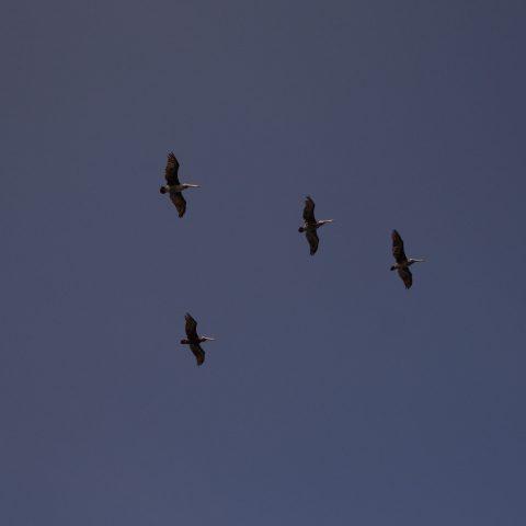 occidentalis, Oiseau, Pelecanus-13