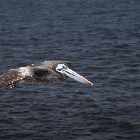 occidentalis, Oiseau, Pelecanus-18