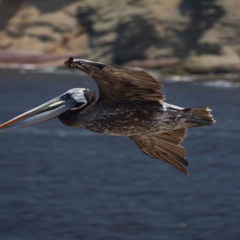 occidentalis, Oiseau, Pelecanus-19