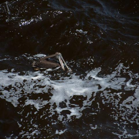 occidentalis, Oiseau, Pelecanus-23