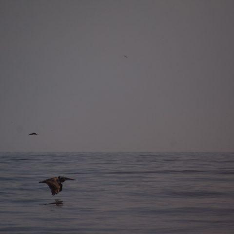 occidentalis, Oiseau, Pelecanus-5