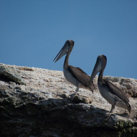 occidentalis, Oiseau, Pelecanus-6