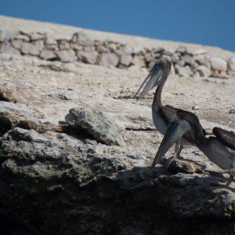 occidentalis, Oiseau, Pelecanus-7