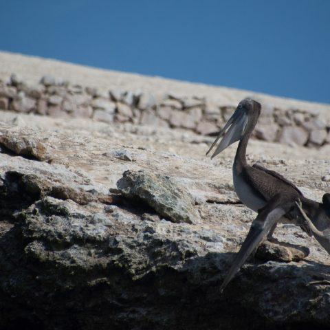 occidentalis, Oiseau, Pelecanus-8