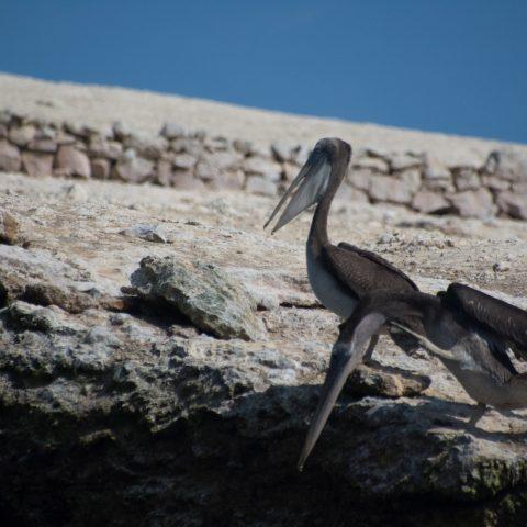 occidentalis, Oiseau, Pelecanus-9