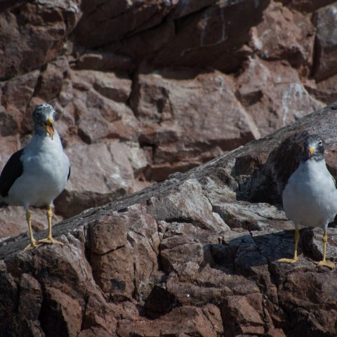 belcheri, Larus, Oiseau-2
