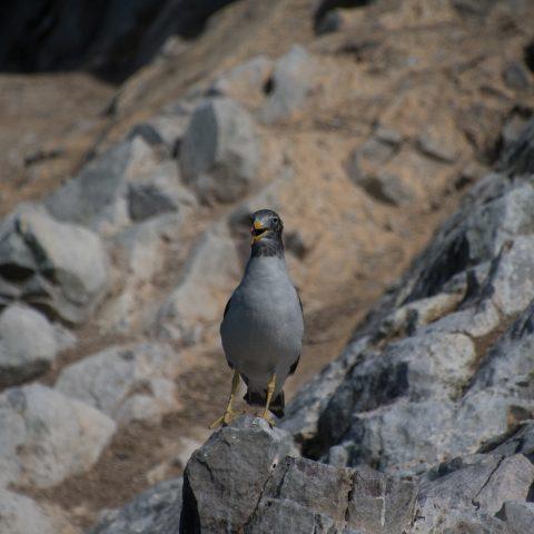 belcheri, Larus, Oiseau-3