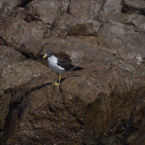 belcheri, Larus, Oiseau-5
