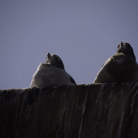 belcheri, Larus, Oiseau-6