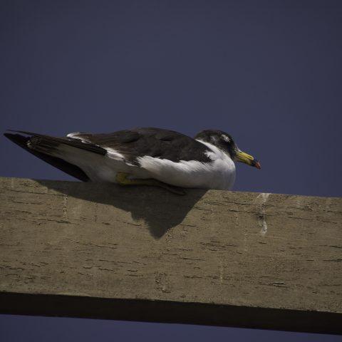 belcheri, Larus, Oiseau-7