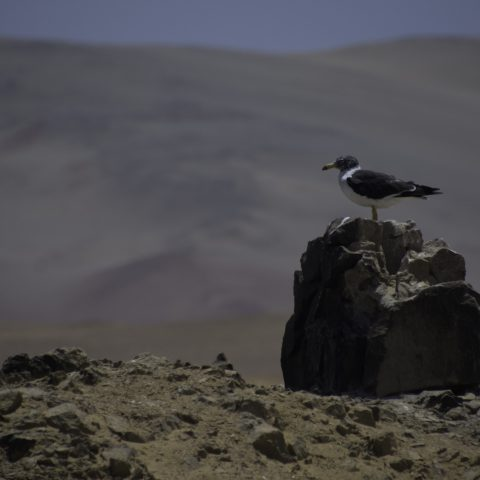belcheri, Larus, Oiseau-8