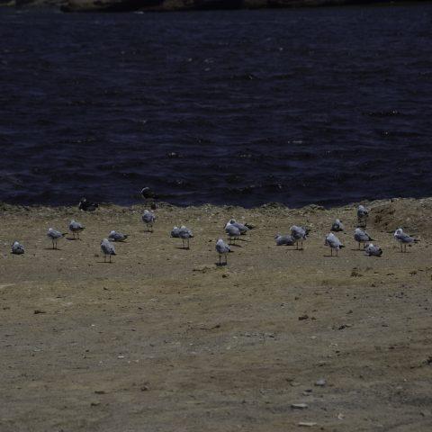 belcheri, cirrocephalus, Larus, Oiseau-2