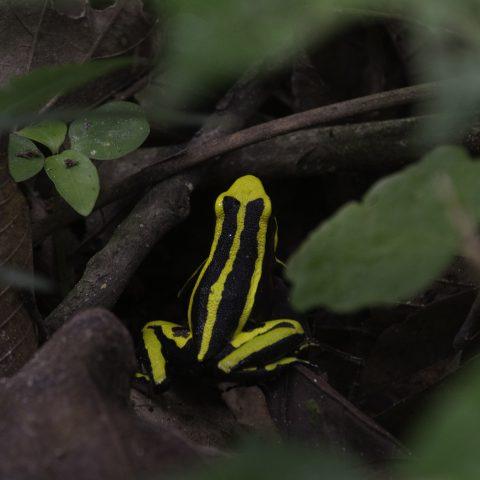Ameerega, Amphibien, trivittata-2