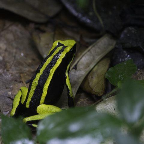 Ameerega, Amphibien, trivittata-3