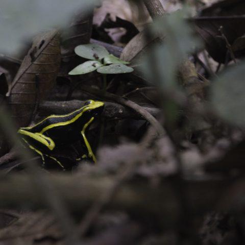 Ameerega, Amphibien, trivittata