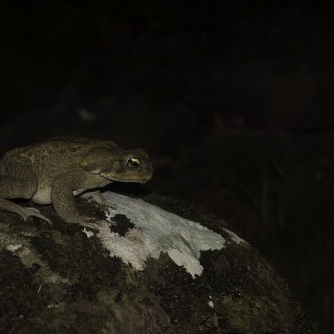 Amphibien, Bufo, marinus-2