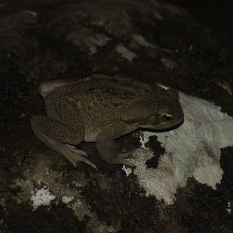 Amphibien, Bufo, marinus