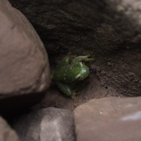 Amphibien, cinerascens, granosus, Hypsiboas-2