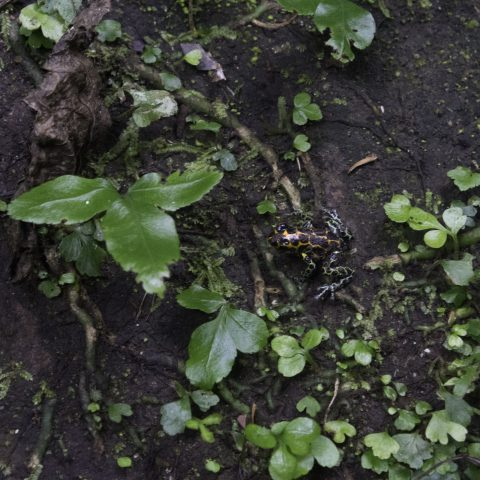 Amphibien, imitator, Ranitomeya-3