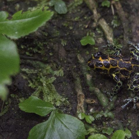 Amphibien, imitator, Ranitomeya-6