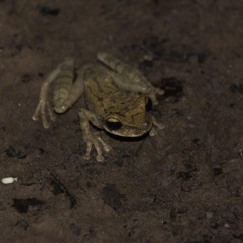 Amphibien, ruber, Scinax