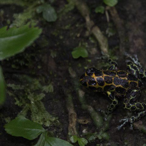 Amphibien-imitator-Ranitomeya-6