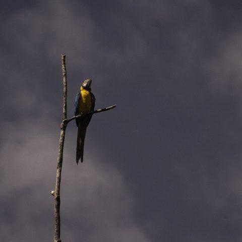 Ara, ararauna, Oiseau-4
