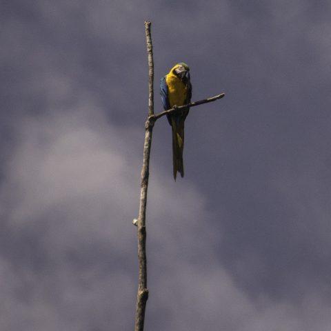 Ara, ararauna, Oiseau-5