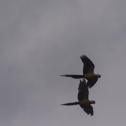 Ara, ararauna, Oiseau-6