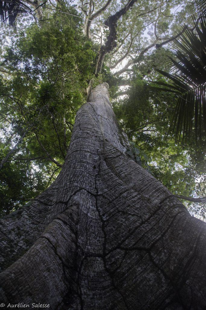 Arbre selva