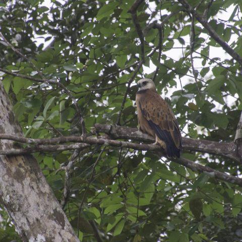 Busarellus, nigricollis, Oiseau-2